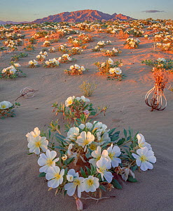 Birdcage evening primrose (Oenothera deltoides)  flowers on sand dunes at sunset with Ship Mountains in background.  Mojave Trails National Monument, California, USA. - Jack Dykinga