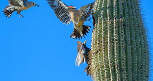 Gila woodpeckers  (Melanerpes uropygialis) defending their nest hole in a saguaro cactus from Starling (Sturnus vulgaris) Arizona, USA. - Jack Dykinga