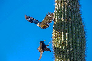 Gila woodpecker  (Melanerpes uropygialis) defending nest hole in a Saguaro cactus from Starling (Sturnus vulgaris) Arizona, USA. - Jack Dykinga