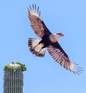 Northern caracara (Northern caracara cheriway) flying away from Saguaro cactus (Carnegiea gigantea) in flower, Tohono O'odam Reservation, Arizona, USA, May.  -  Jack Dykinga