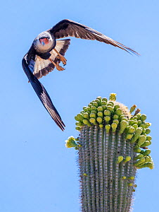 Northern caracara (Northern caracara cheriway) taking off from Saguaro cactus (Carnegiea gigantea) in flower, Tohono O'odam Reservation, Arizona, USA, May.  -  Jack Dykinga