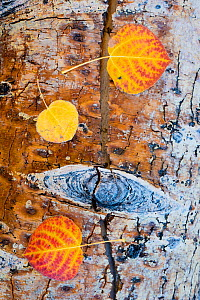Fallen Quaking aspen (Populus tremuloides) leaves on wood,  autumn, Dixie National Forest, Utah, USA, October.  -  Jack Dykinga