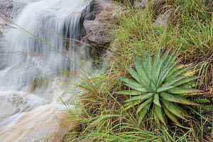 Waterfall with intense run off due to Hurricane Newton, with Agave. Santa Catalina Mountains, Coronado National Forest, Arizona, USA, September - Jack Dykinga