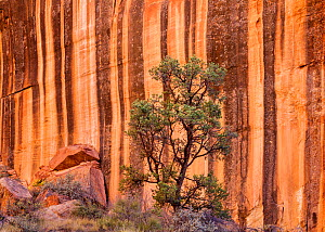 Pinyon pine (Pinus sp) Capitol Reef National Par, Utah, USA, October.  -  Jack Dykinga