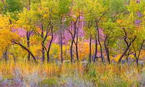 Freemont cottonwood trees (Populus fremontii) in autumn, Capitol Reef National Park, Utah, America, October.  -  Jack Dykinga