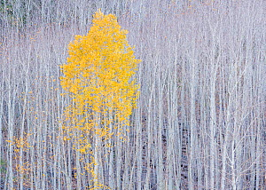 Quaking aspen (Populus tremuloides) in autumn colours with tree trunks behind, Dixie National Forest, Utah, October.  -  Jack Dykinga