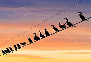 Flock of Neotropic cormorants ( (Phalacrocorax brasilianus) on wire at sunset, Cibola National Wildlife Refuge, Arizona, USA. November.  -  Jack Dykinga