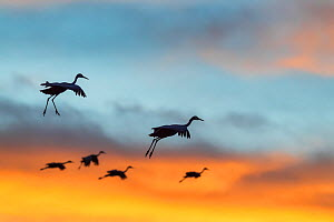 Sandhill crane (Grus canadensis) flock in flight, silhouetted at sunset, Bosque del Apache National Wildlife Refuge, New Mexico, December.  -  Jack Dykinga