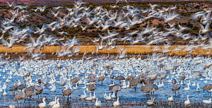 Sandhill cranes (Grus canadensis) and Snow geese (Chen caerulescens) Bosque del Apache National Wildlife Refuge, New Mexico, USA, December.  -  Jack Dykinga