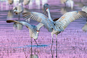 Sandhill cranes (Grus canadensis) mating dance at sunset, Bosque del Apache National Wildlife Refuge, New Mexico, USA, December. Small repro only - Jack Dykinga