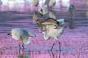 Sandhill cranes (Grus canadensis) mating dance at sunset, Bosque del Apache National Wildlife Refuge, New Mexico, USA, December. - Jack Dykinga