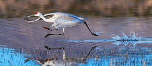 Sandhill crane (Grus canadensis) running to take off into flight,  Boque del Apache, New Mexico, USA, December. - Jack Dykinga