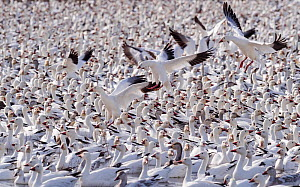 Snow geese (Chen caerulescens) large flock with some landing, Bosque del Apache, New Mexico, USA, December.  -  Jack Dykinga