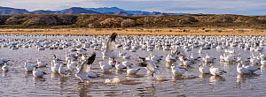 Snow geese (Chen caerulescens) arge flock,  Bosque del Apache, New Mexico, USA, December.  -  Jack Dykinga