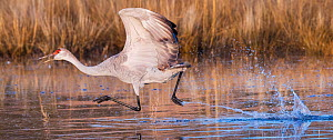 Sandhill cranes (Grus canadensis) taking off, Bosque del Apache National Wildlife Refuge, New Mexico, USA, December. - Jack Dykinga