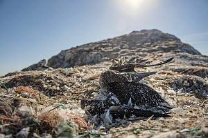 Northern gannet (Morus bassanus)  dead juvenile entangled in marine litter. Grassholm Island, Wales, UK. October - Sam Hobson