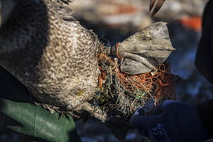 Northern gannet (Morus bassanus) juvenile entangled in marine litter. Grassholm Island, Wales, UK. October - Sam Hobson