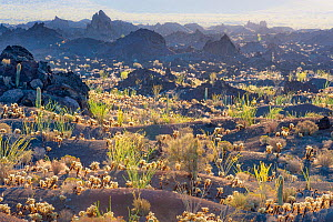 Desert environ with Cholla cacti (Cylindropuntia) El Pinacate and Gran Desierto de Altar Biosphere Reserve. Pinacate lava flow, near the border wall along the US-Mexican border through the Sonoran Des...  -  Jack Dykinga