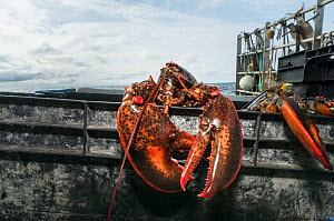 American lobsters (Homarus americanus) trying to escape from lobster pots, Portland, Maine USA October  -  Jeff Rotman