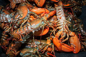 American lobsters (Homarus americanus) caught in trap, Yarmouth, Maine, USA October  -  Jeff Rotman