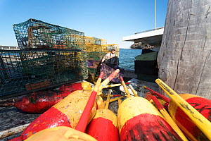 American lobster (Homarus americanus) traps being unloaded at end of season, Maine, USA October  -  Jeff Rotman