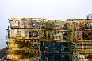 American lobster (Homarus americanus) traps baited with fish and waiting to be set, Portland, Maine, USA October  -  Jeff Rotman