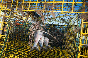 American lobster (Homarus americanus) pot baited and ready to fish, Portland, Maine USA October  -  Jeff Rotman