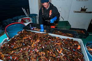 Lobsterman puts rubber bands on American lobster (Homarus americanus) claws to prevent cannibalism, Yarmouth Maine USA October. Model released.  -  Jeff Rotman