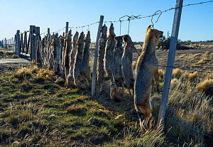 Dead Pampas fox (Lycalopex gymnocercus) Grey fox (Lycalopex culpaeus) and Geffroy's cat (Oncifelis geoffroyi) killed by sheep farmers and hung up to deter others, Patagonia, Argentina - Gabriel Rojo