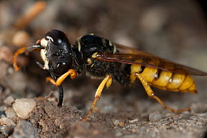 European beewolf (Philanthus triangulum) grooming antennae. The antennae of these species has symbiotic bacteria living in the antennae gland. In females, these glands are involved in the preservation... - Milan  Radisics