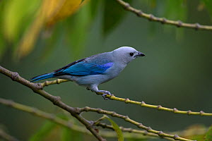 Blue-grey tanager (Thraupis episcopus) Trinidad and Tobago April  -  Robin Chittenden