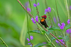 Ruby topaz hummingbird (Chrysolampis mosquitus) Trinidad and Tobago April - Robin Chittenden