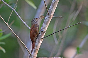 Straight-billed woodcreeper (Dendroplex picus) Trinidad and Tobago April - Robin Chittenden
