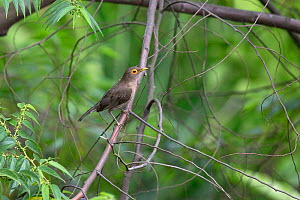Spectacled thrush (Turdus nudigenis) Trinidad and Tobago, March  -  Robin Chittenden