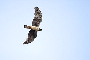 Long winged harrier (Circus buffoni) in flight, Trinidad and Tobago, April - Robin Chittenden