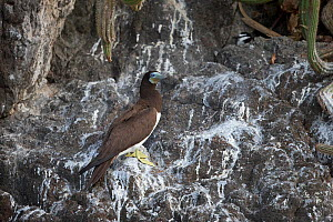 Brown booby (Sula leucogaster) sitting on rocks at coast, Trinidad and Tobago, April - Robin Chittenden