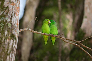 Green-rumped parrotlet (Forpus passerinus) two sitting together, Trinidad and Tobago, April - Robin Chittenden