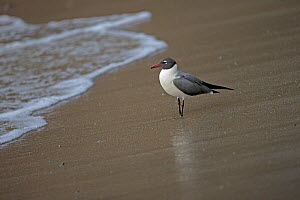 Laughing gull (Larus atricilla) on the beach, Trinidad and Tobago, April  -  Robin Chittenden