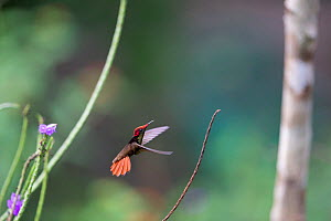 Ruby topaz hummingbird (Chrysolampis mosquitus) in flight, Trinidad and Tobago, April  -  Robin Chittenden