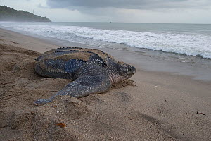 Leatherback turtle (Dermochelys coriacea) female returning to sea after laying eggs, Trinidad and Tobago, April - Robin Chittenden