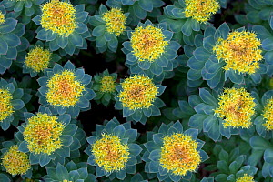 Roseroot (Rhodiola rosea) viewed from directly above, Iceland June - Robin Chittenden