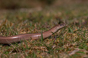 Slow worm (Anguis fragilis) crawling along grass, Norfolk UK April  -  Robin Chittenden