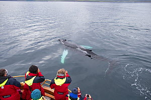 Tourists watching Humpback Whale (Megaptera novaeangliae) calf at the surface, Iceland, August. - Robin Chittenden
