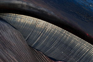 Close up of baleen plates of Fin Whale (Balaenoptera physalus), Norfolk, UK. - Robin Chittenden