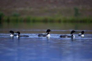 Great Northern Divers (Gavia immer) on water, Iceland, August. - Robin Chittenden