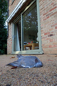 Dead Wood Pigeon (Columba oenas) killed by flying into a large window,  Norfolk, UK, October.  -  Robin Chittenden