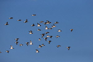 Mixed flock of Oystercatchers (Haematopus ostralegus) and Bar-tailed Godwits (Limosa lapponica) flying, Norfolk, UK, November.  -  Robin Chittenden