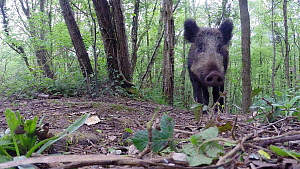 Close-up of a Wild boar (Sus scrofa) approaching a remote camera and knocking it over, Forest of Dean, Gloucestershire, England, UK, May. - Luke Massey