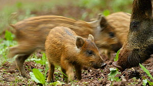 Low angle shot of Wild boar (Sus scrofa) piglets running towards parent, Forest of Dean, Gloucestershire, England, UK, May.  -  Luke Massey