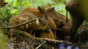 Wild boar (Sus scrofa) piglets resting, with mother nearby, Forest of Dean, Gloucestershire, England, UK, May.  -  Luke Massey